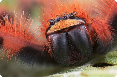 Малазийский оранжевый охотник Thelcticopis modesta