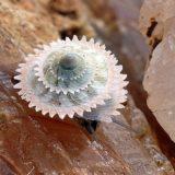 Улитка Priotrohatella stellata