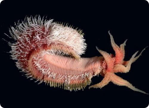 Помпейский червь