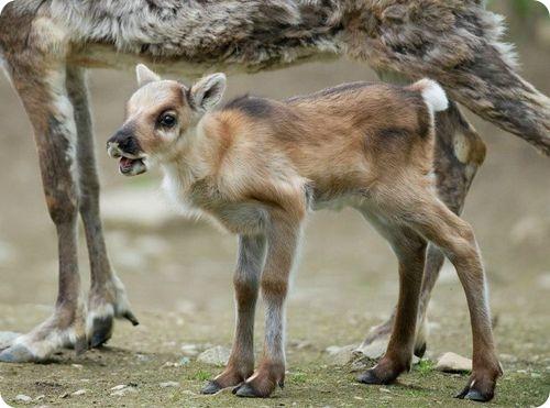 Северные олени из Праги