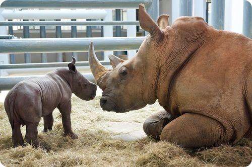 Белый носорог из Флориды