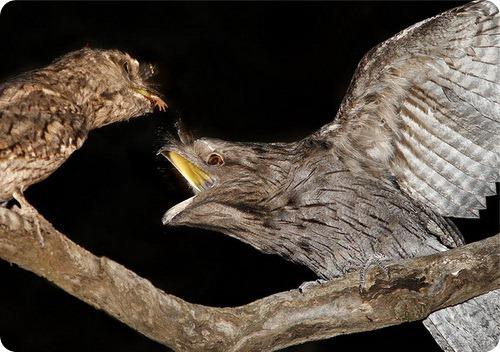 Исполинский белоног или Дымчатый лягушкорот