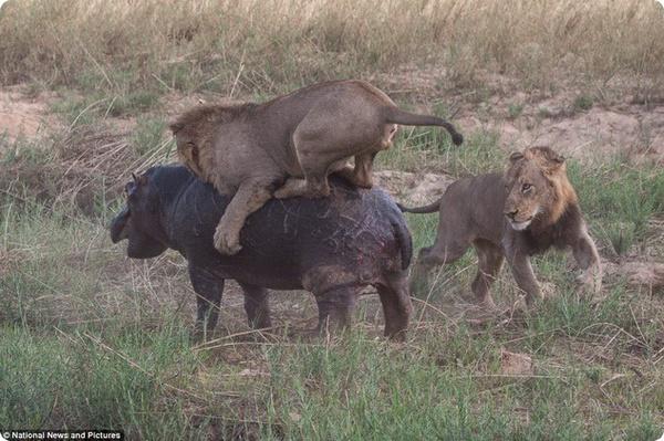 Смертельная схватка между львами и бегемотом