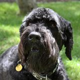 Черный Терьер или Собака Сталина