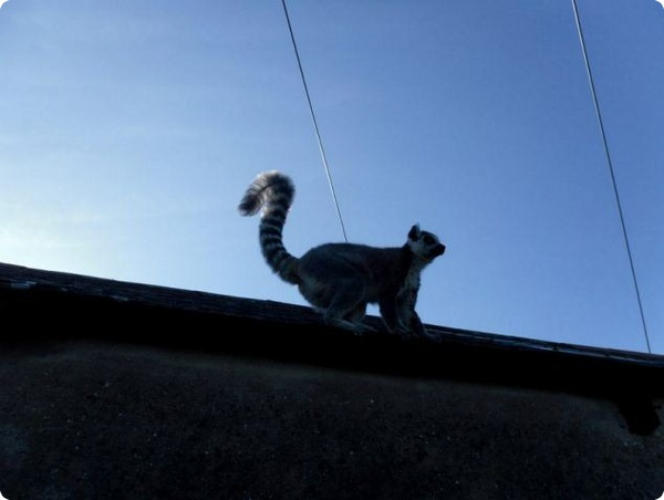 Лемур, прогуливающийся по английской деревушке
