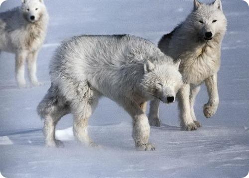 северный волк фото