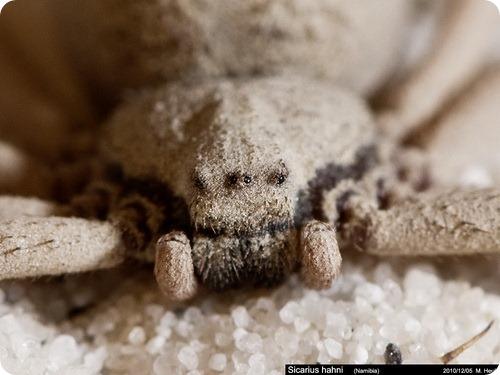 Шестиглазый песочный паук - Sicarius hahni