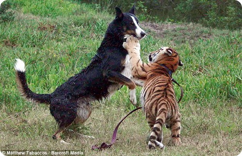 Соло: собака – укротитель тигров