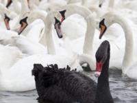 Угольно-чёрный лебедь среди белой братии