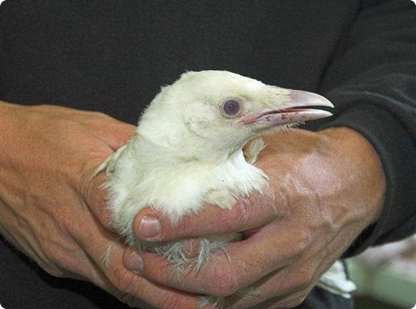 Необычно белую ворону спасли в Шотландии