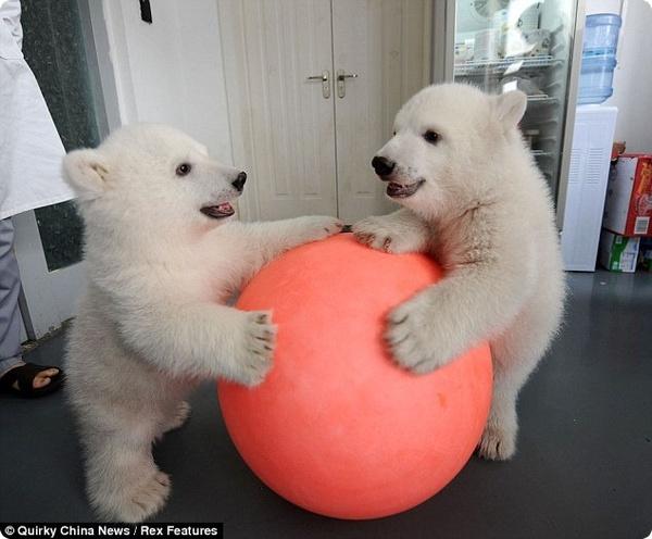 Белым медвежатам из Китая исполнилось 100 дней