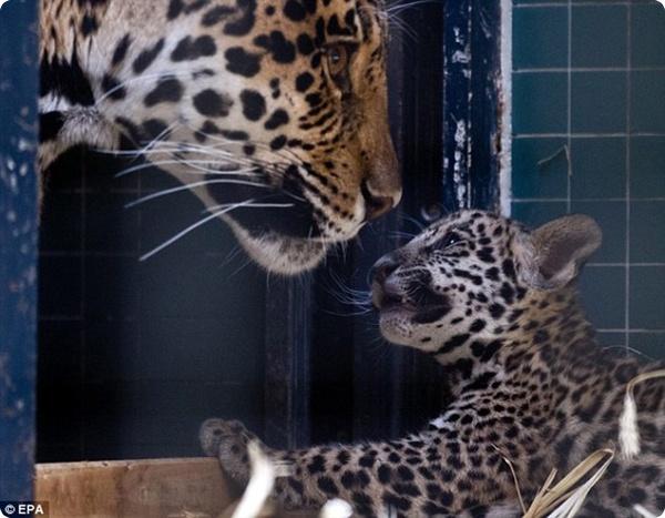 В Берлинском зоопарке родились детёныши ягуара