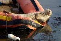 Морской котик загорает на солнце!