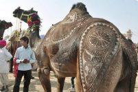 Верблюжий фестиваль в Индии
