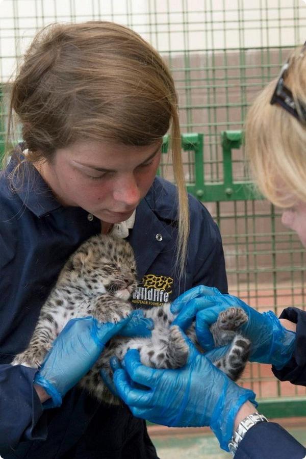 Детёныши амурских леопардов из Wildlife Heritage Centre
