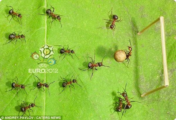 Муравьи играют в футбол!