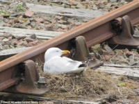 Отважная чайка и её гнездо!