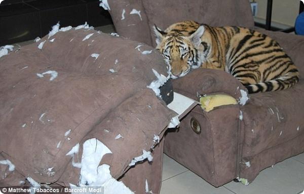 """Большой """"котёнок"""" в доме!"""