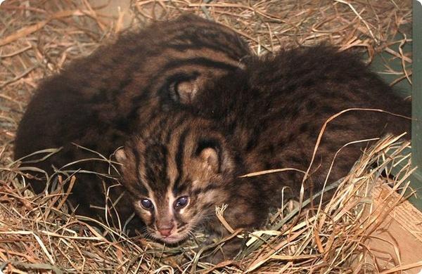 В Смитсоновском зоопарке родились детёныши кошки-рыболова