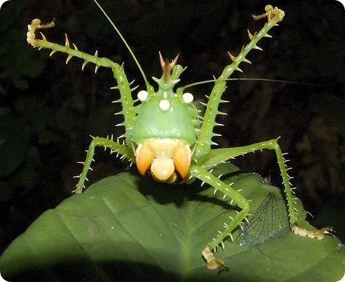 Кузнечик иглистый дьявол (лат. Panacanthus cuspidatus)