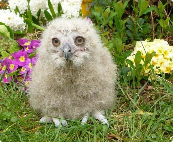 В английском зоопарке пытаются выходить маленького филинёнка