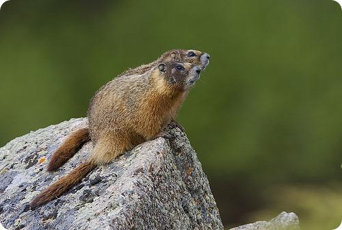 Желтобрюхий сурок (лат. Marmota flaviventris)