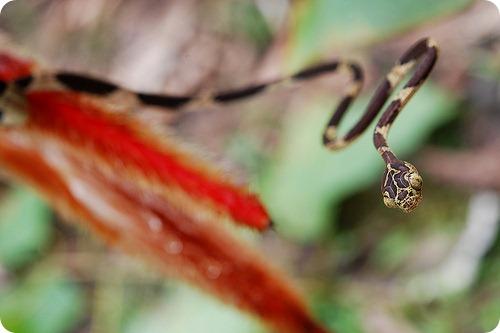 Обыкновенная ремневидная змея