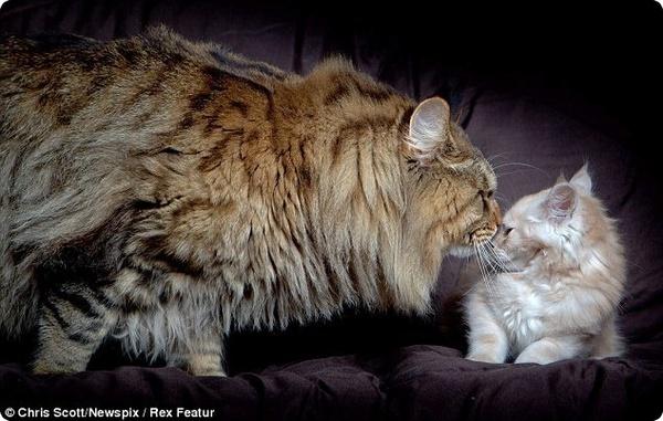 Самый крупный кот в мире