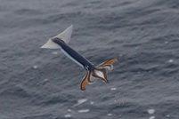 Летающие кальмары