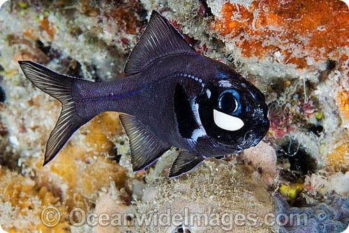 Фонареглаз малый (лат. Photoblepharon palpebratus)