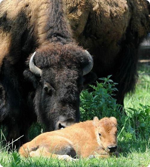 Американский бизон из Чикаго