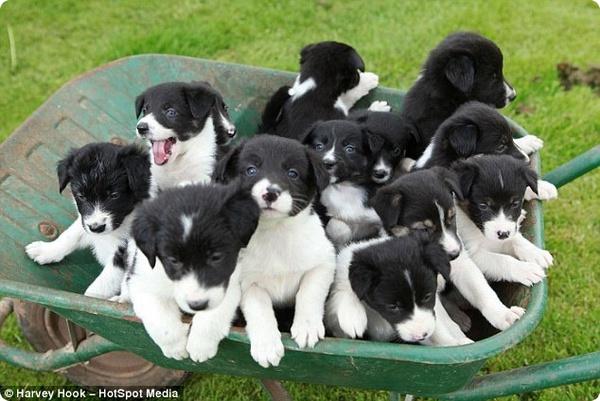 В Великобритании собака родила 14 щенков