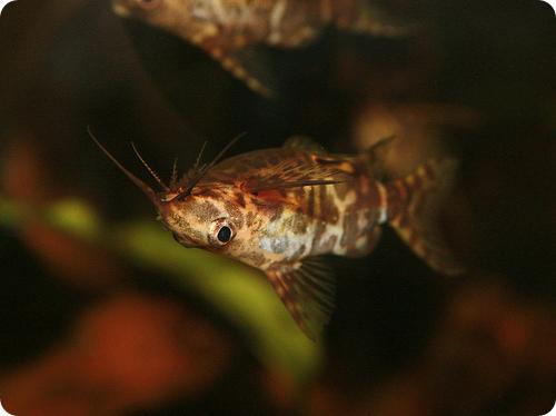 сомик-перевертыш (лат. Synodontis nigriventris)