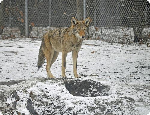 Рыжий волк (лат. Canis rufus)