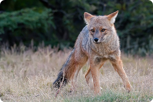 Андская лисица (Lycalopex culpaeus)