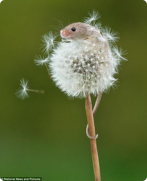 Мышь-малютка и одуванчик