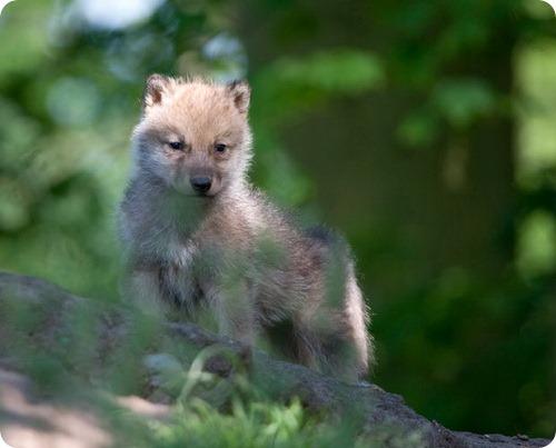 Мельвильский островной волк из Дании