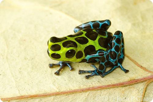 Древолаз Циммермана (лат. Ranitomeya variabilis)