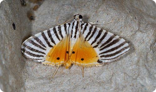 Травяная огневка (лат. Dichocrocis zebralis)