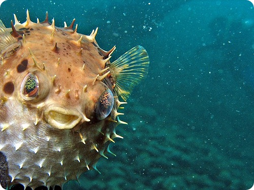 Диодон дикобраз, или рыба-еж