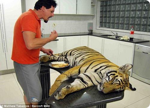 Домашний тигр по кличке Энцо