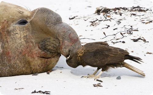 Южный морской слон под прицелом каракары