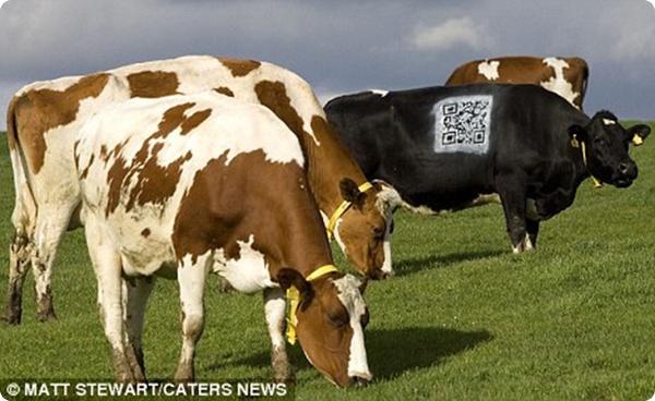 Коровы и Qr-код