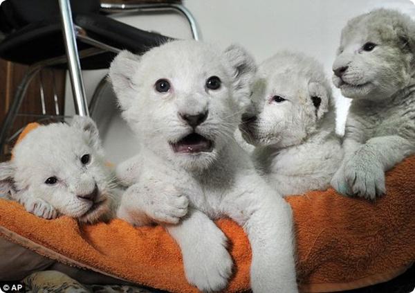 Белоснежные львята родились в Украине!
