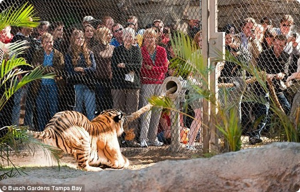 Померяйся силами с тиграми!