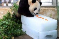 Панда и лёд