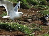 Чайка-разбойница и беспомощный тупик