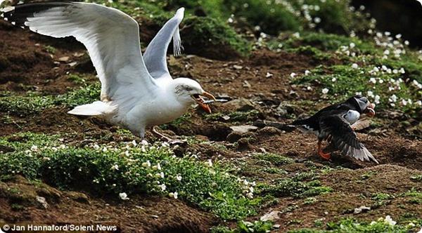 Чайка-разбойница и беспомощный тупик!