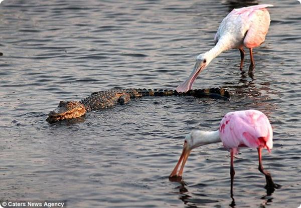 Голодные птицы и аллигатор