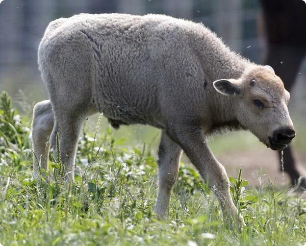 Коренные американцы отмечают рождение белого бизона